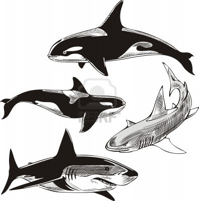 14744447-sharks-and-killer-whales-set-of-black-and-white-illustrations